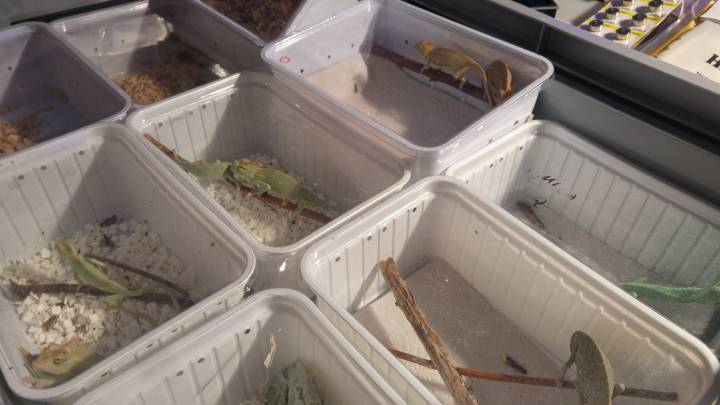 Exotic animal expo - containers with baby chameleons