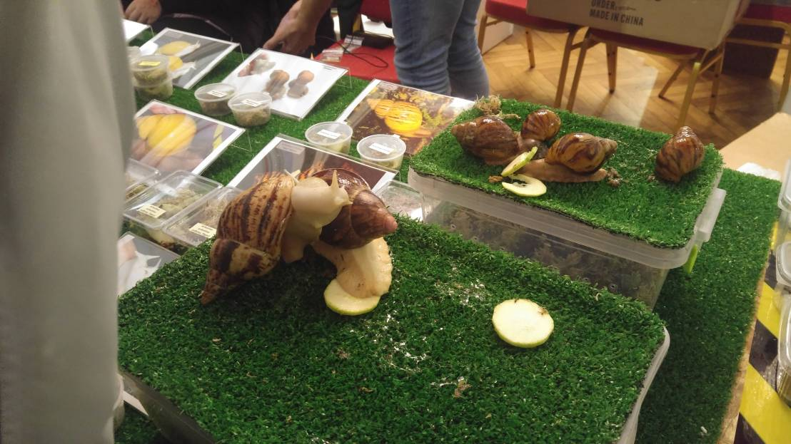 Exotic animal expo - giant African snails