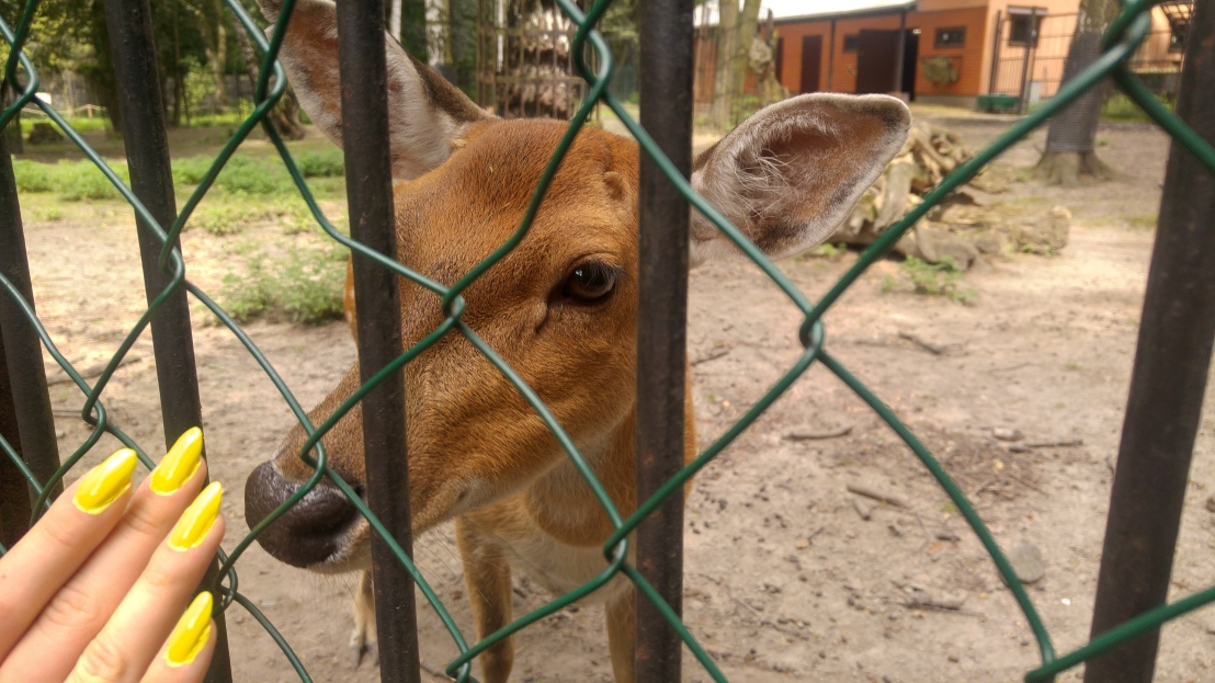 A small doe in a zoo in Chorzow