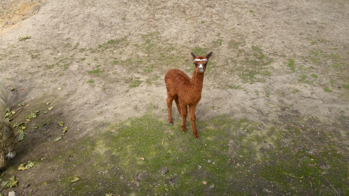 A ginger baby llama with white eyebrows, looking angry