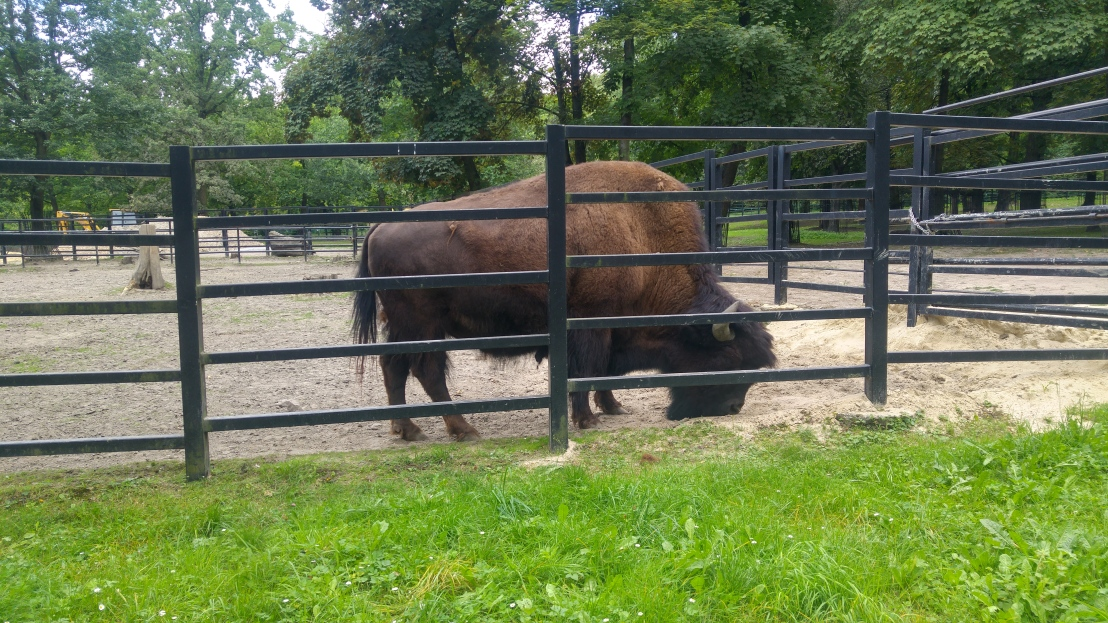 A huge bison in Chorzow zoo