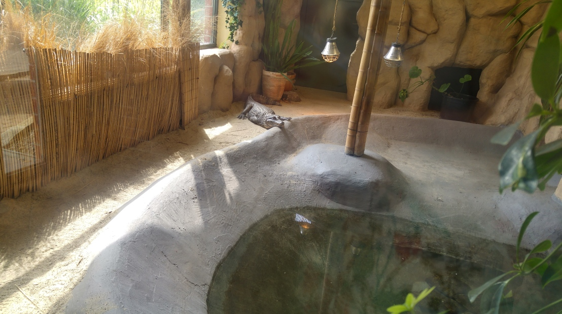 A crocodile in an enclosure with a pond