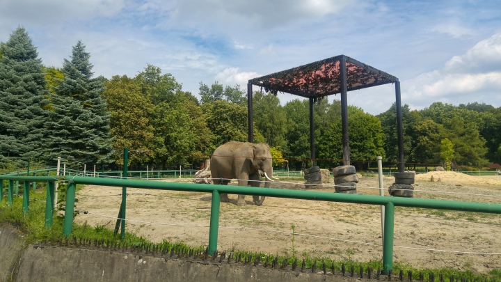 An elephant in its enclosure and green trees in the background
