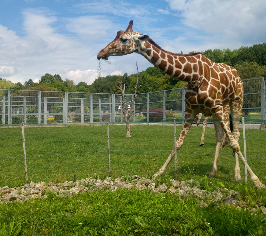 A giraffe in its green enclosure and blue sky in the background