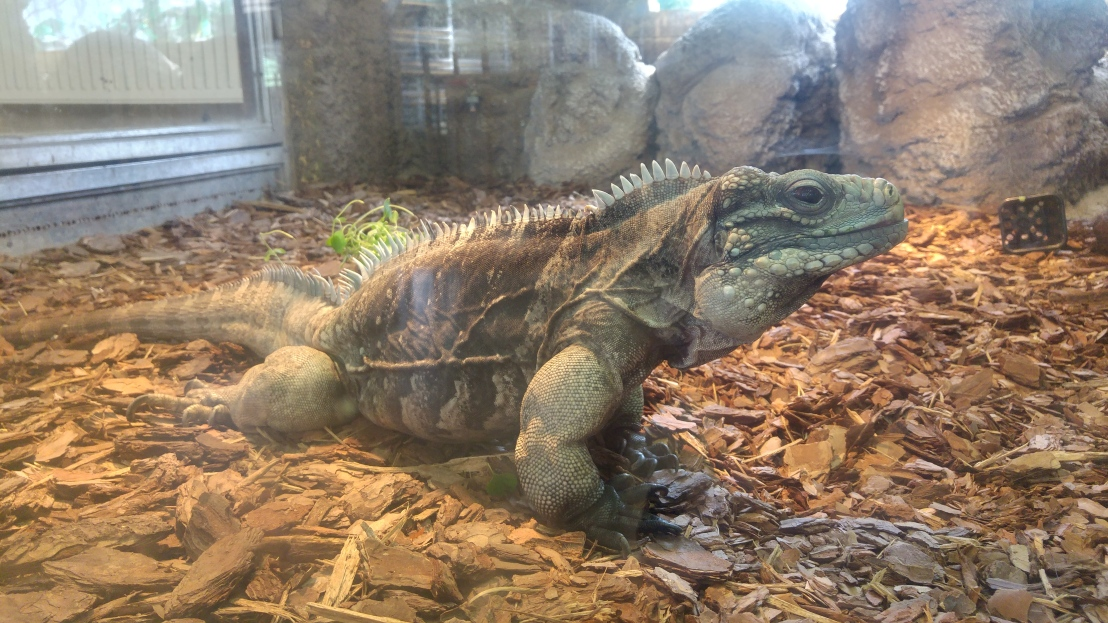 A profile of a green iguana in a zoo