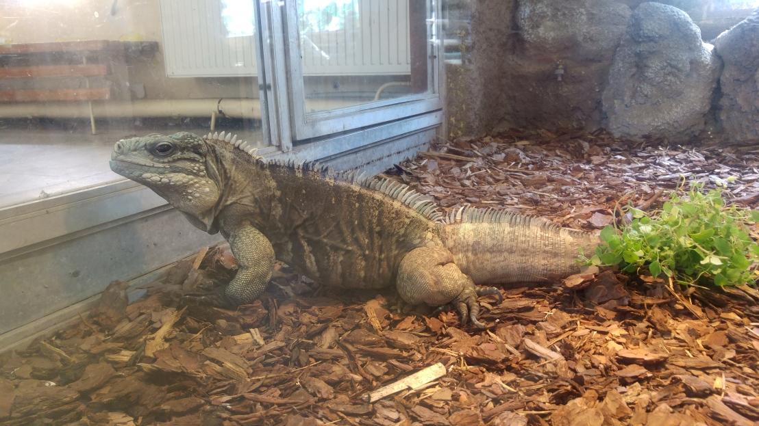 A green iguana on tropical bedding