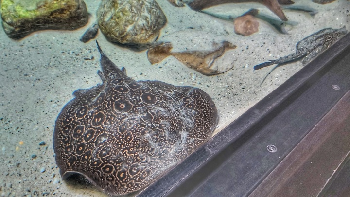 A brown spotted flatfish in an aquarium