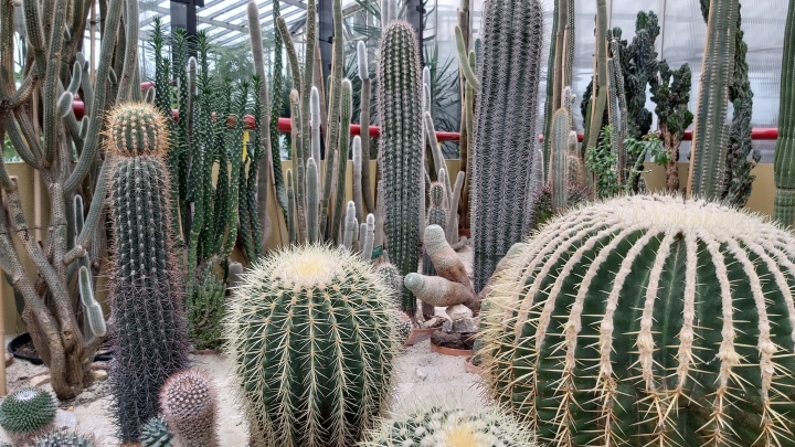 Multiple tall cacti and big round cacti