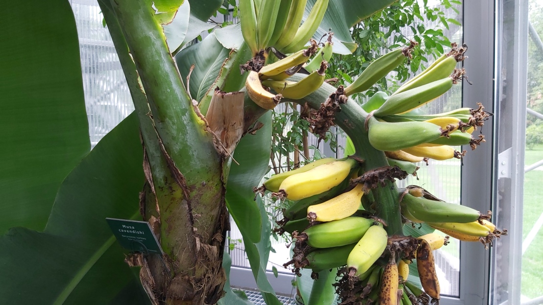 Bananas growing on a tree in a palm house in Gliwice
