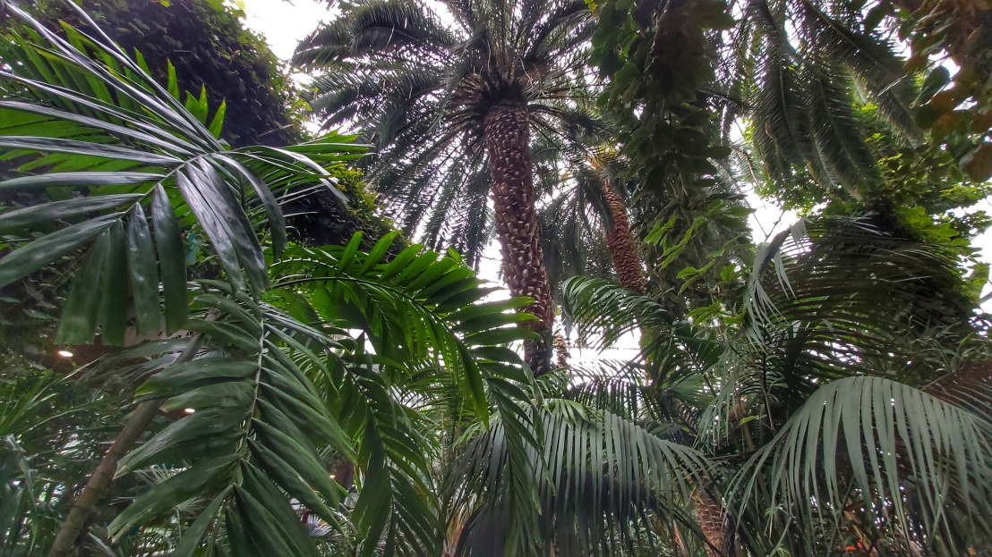 Very tall, luscious palm trees indoors in Gliwice