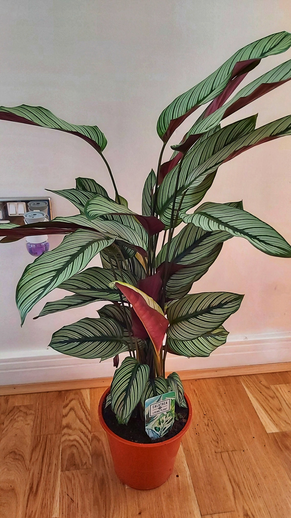 Calathea plant on the floor, bought at Columbia Road