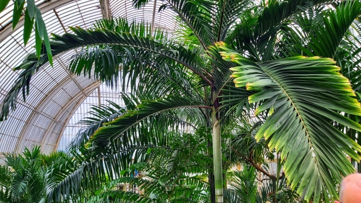 A tall palm tree in Kew Gardens