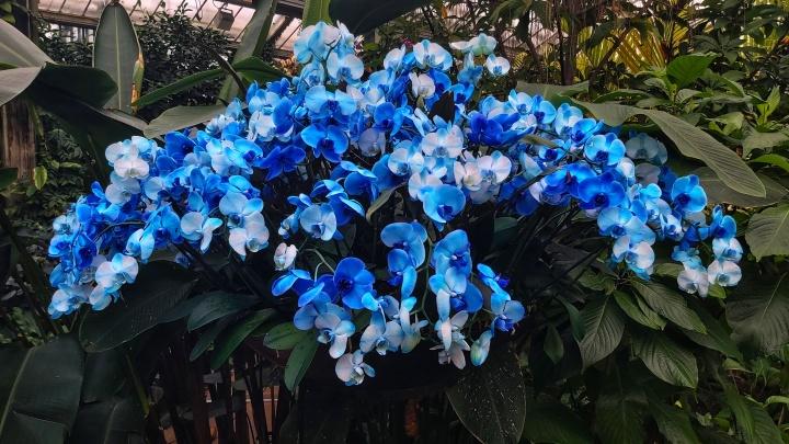 A huge blue orchid in Kew Gardens