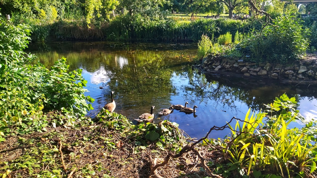 Canada geese in Ruskin Park London