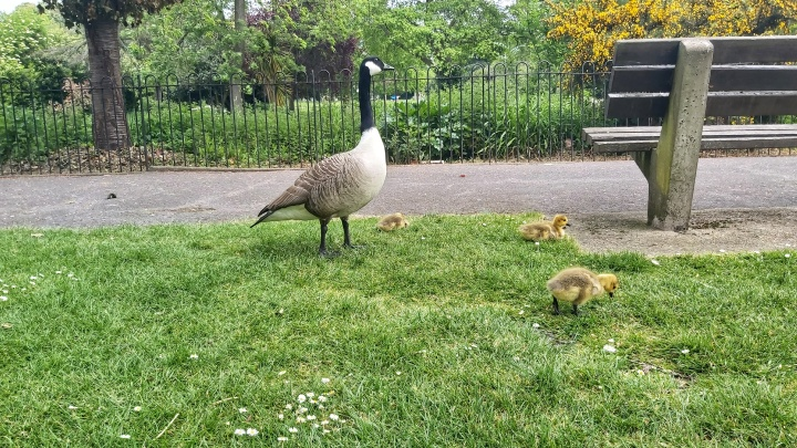 Three baby geese on a grass, guarded by their mother