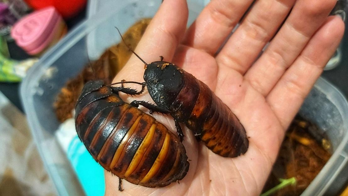 pet-madagascan-hissing-cockroaches-2.jpeg