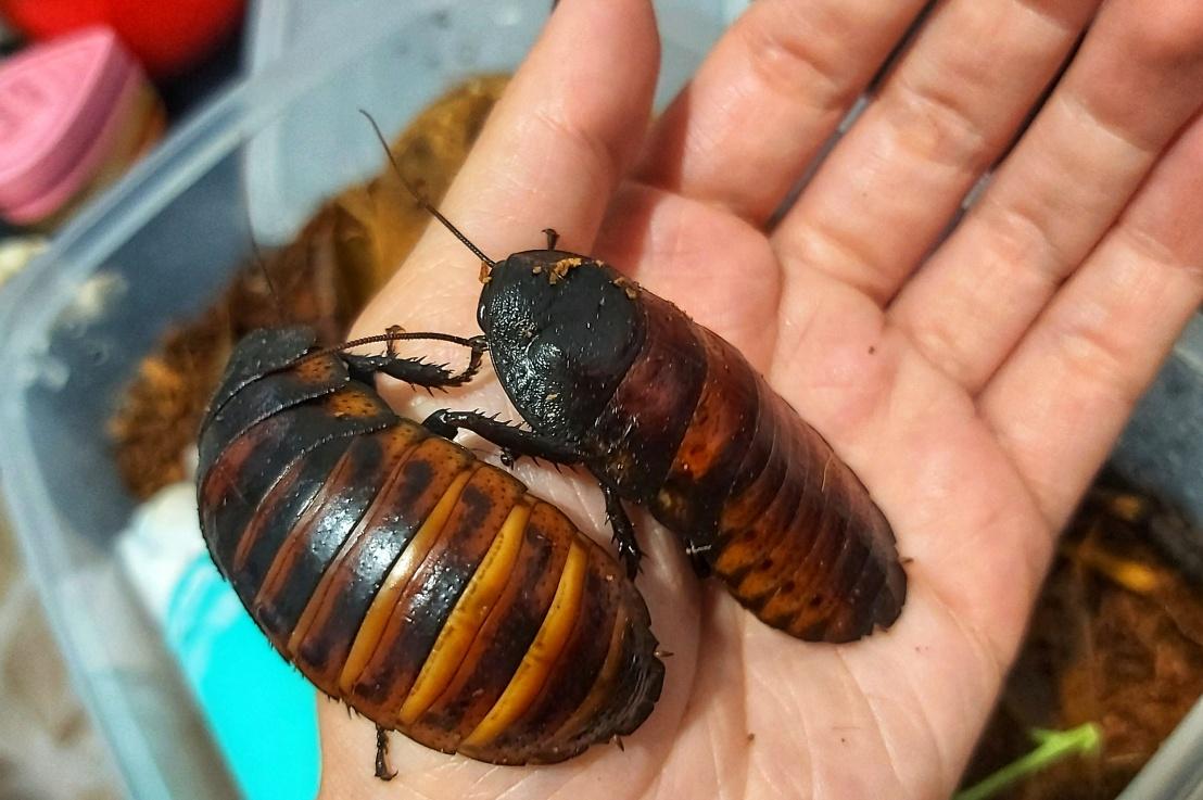 My Pet Madagascar HissingCockroaches