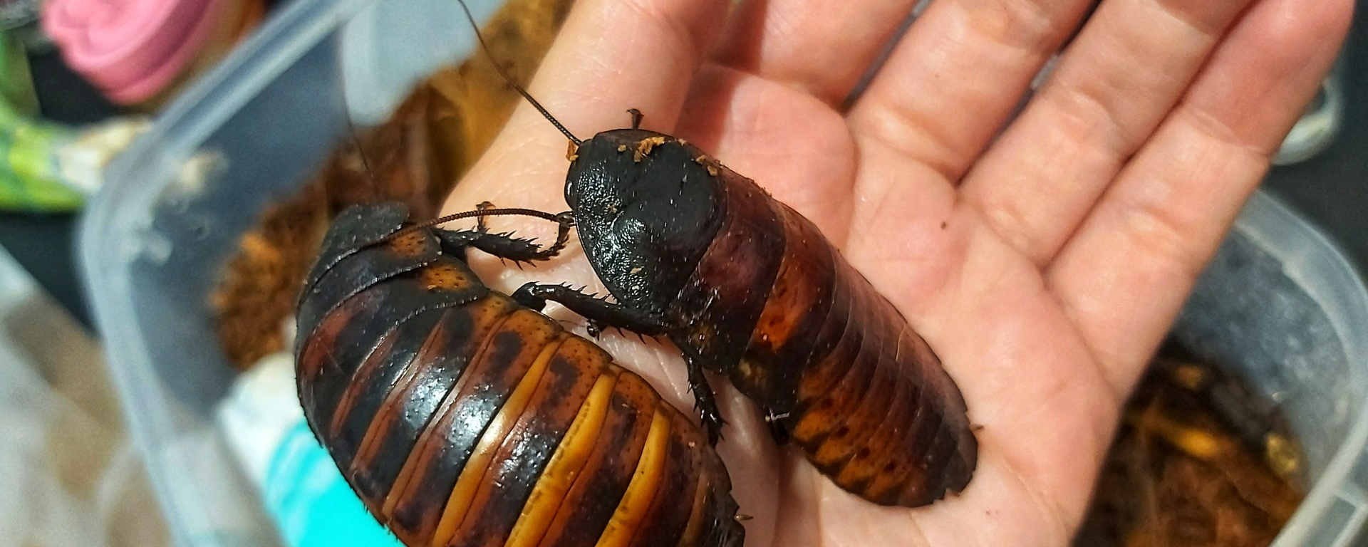 Two adult female Madagascan cockroaches on a hand