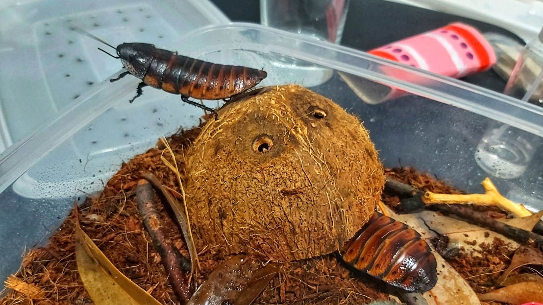 pet-madagascan-hissing-cockroaches-3.jpeg
