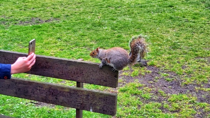Squirrel on a bench, looking into a camera and a hand holding it