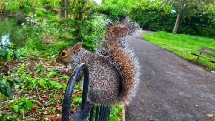 A squirrel sitting on a metal fence in Ruskin Park, profile