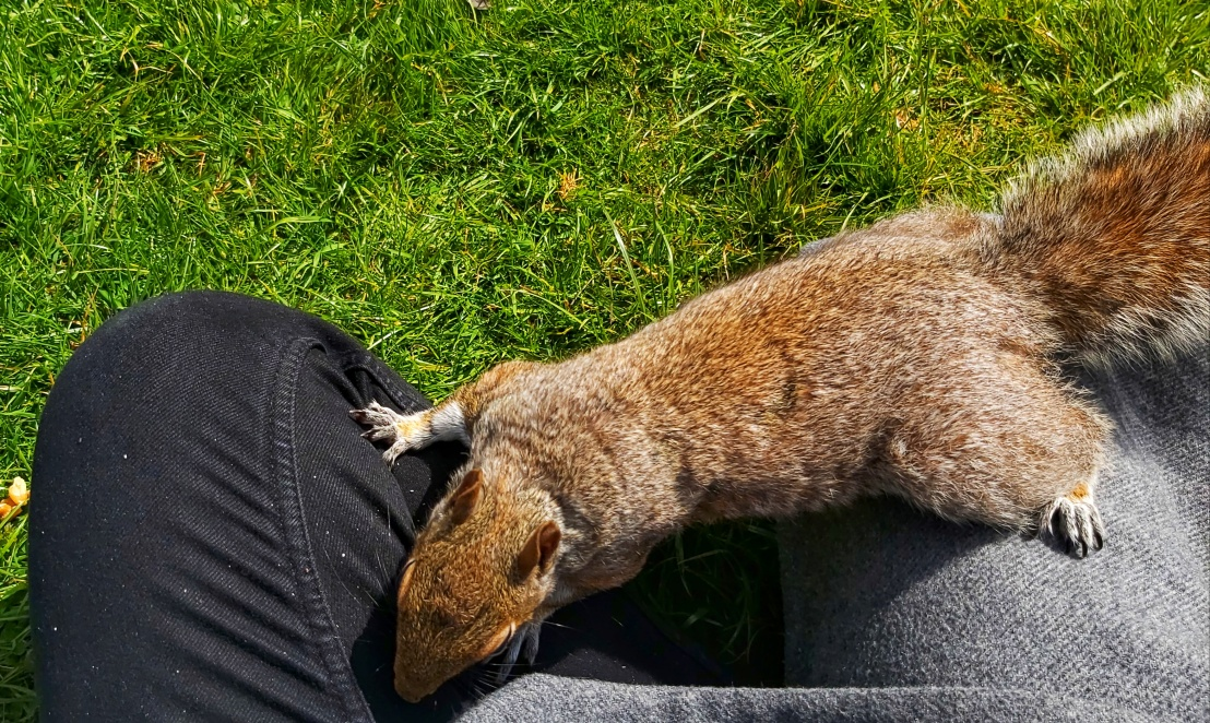 Red squirrel climbing my leg, looking for nuts