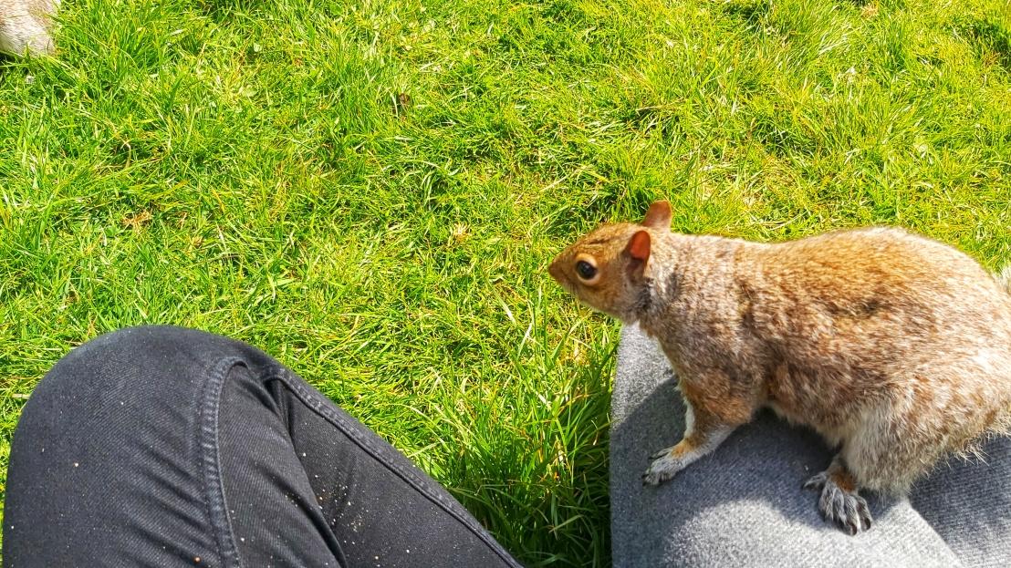 A red grey squirrel sitting on my leg, looking around