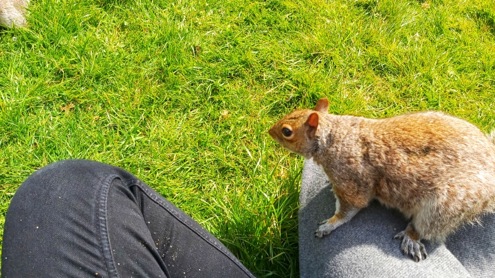 A red grey squirrel sitting on my leg, looking around