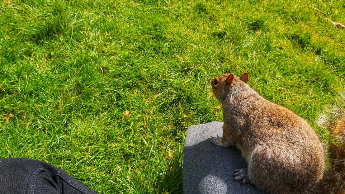 Grey squirrel sitting relaxed on my leg
