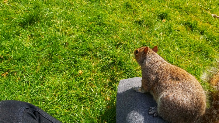 Grey squirrel sitting relaxed on my leg