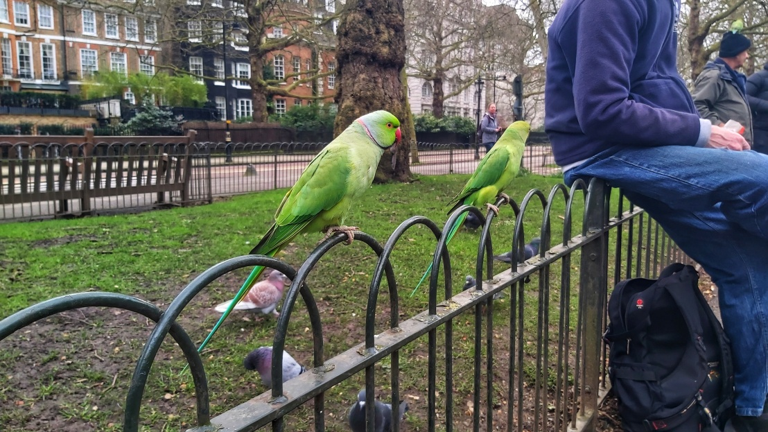 Two green parrots sitting on a fence in St James's Park