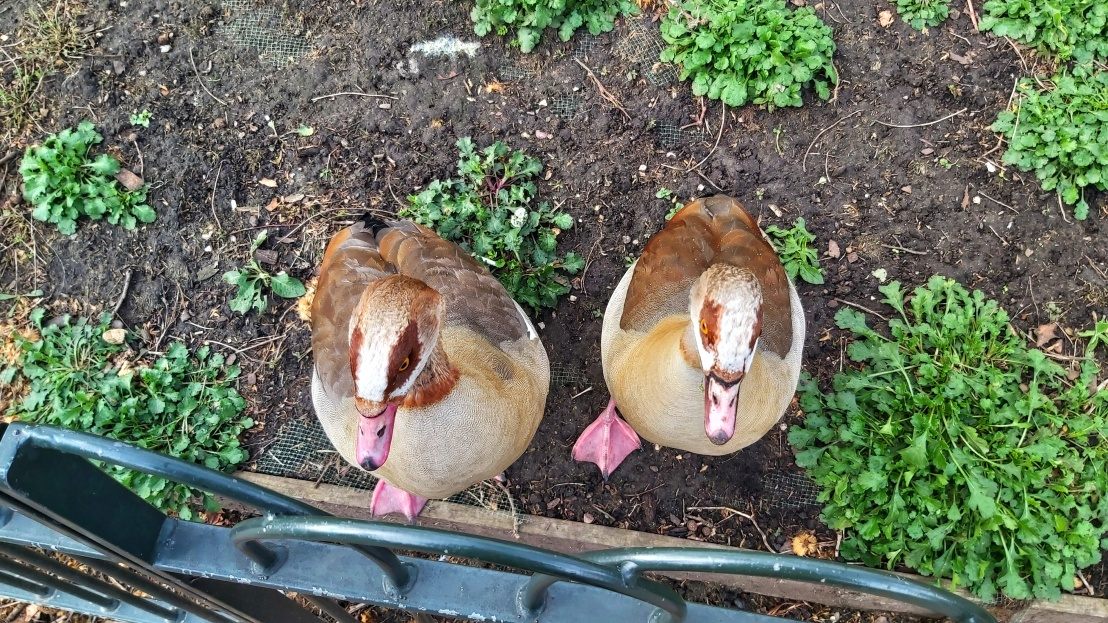 Two brown and white geese in St James's Park