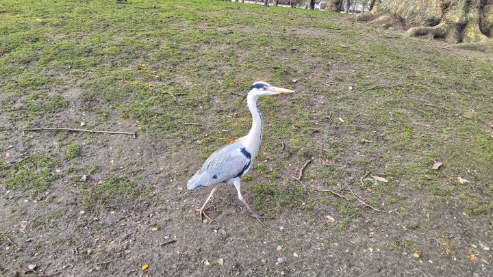 A heron in St James's Park, London