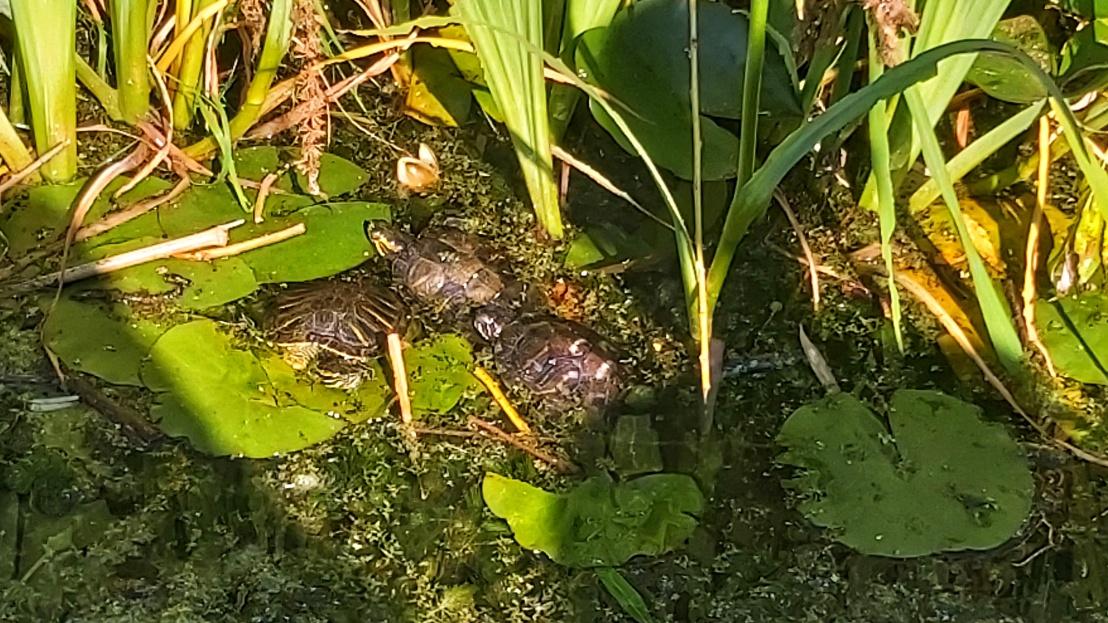 London parks - West Ham Park - turtles