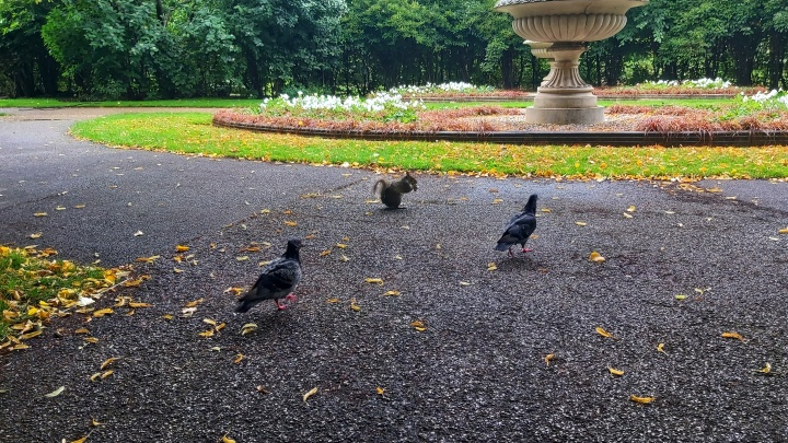 A squirrel and pigeons in Regent's Park