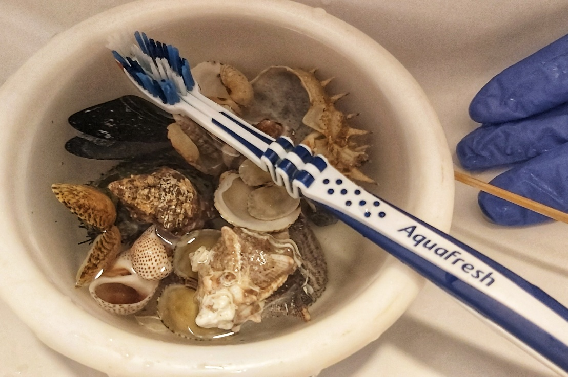 How To CleanSeashells