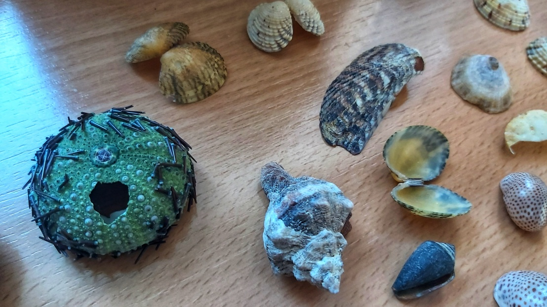 Cleaned sea urchin, a few spiral seashells and small double shells