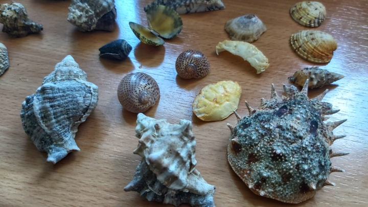 Cleaned crab carapace, big spiral seashells and smaller shells