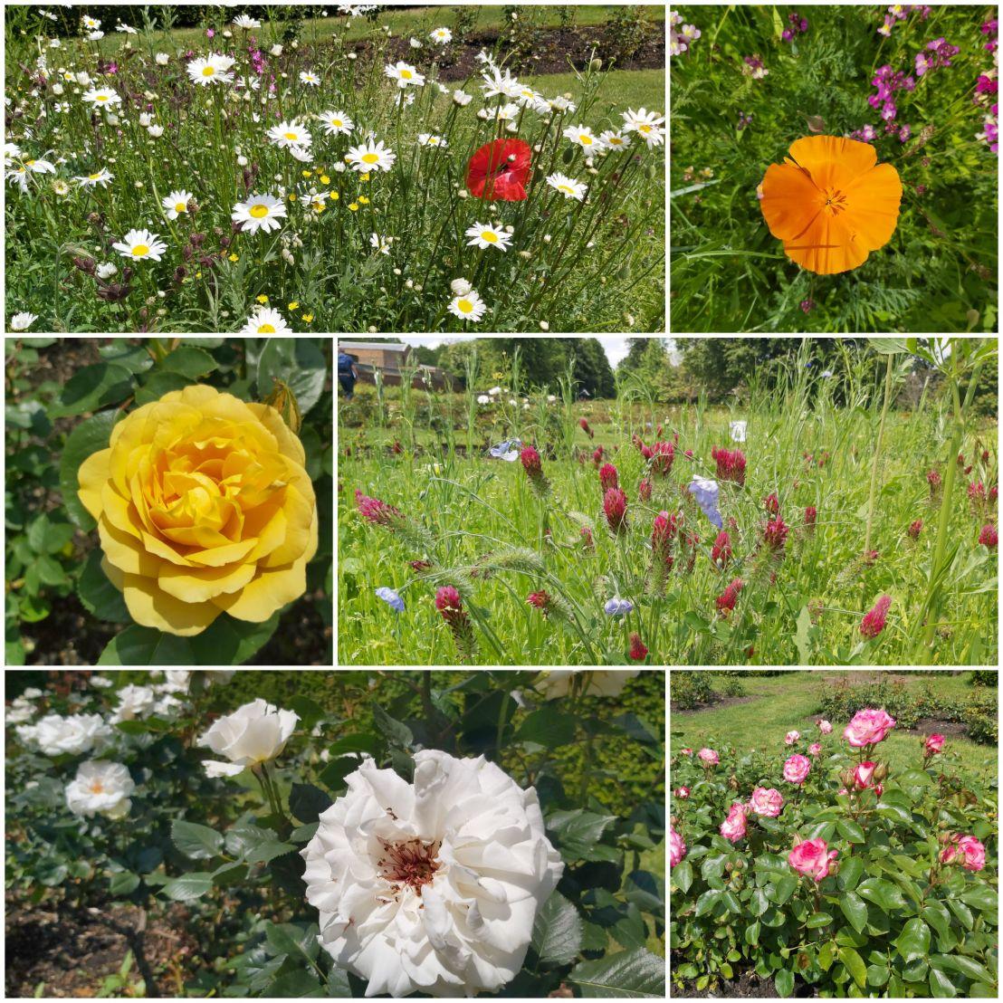 Flowers in Greenwich Park Rose Garden