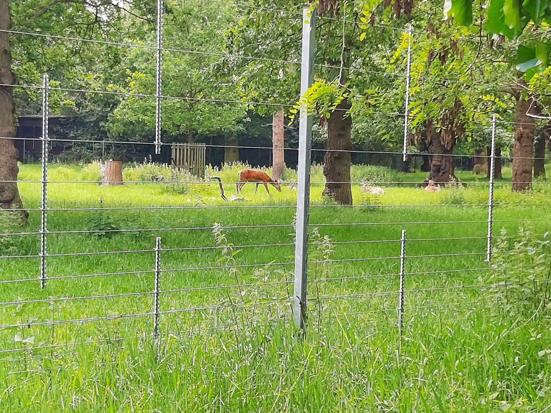 Deer in Greenwich Park