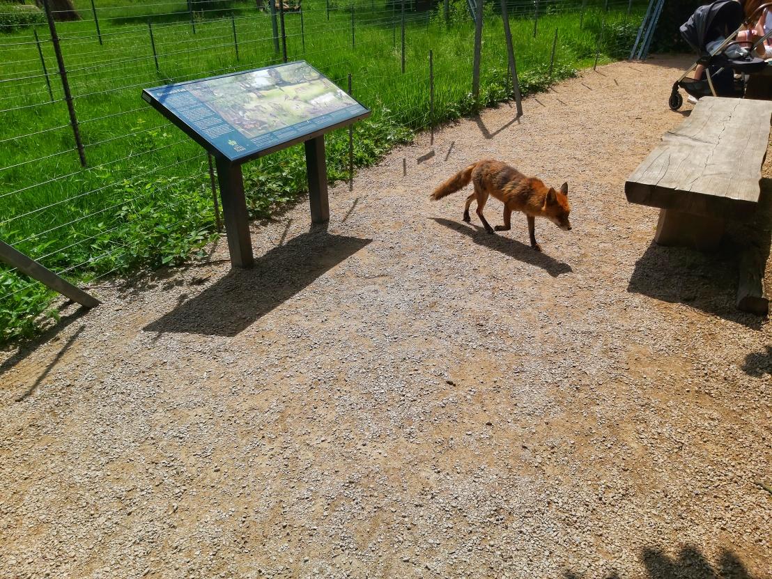 Fox in Greenwich Park