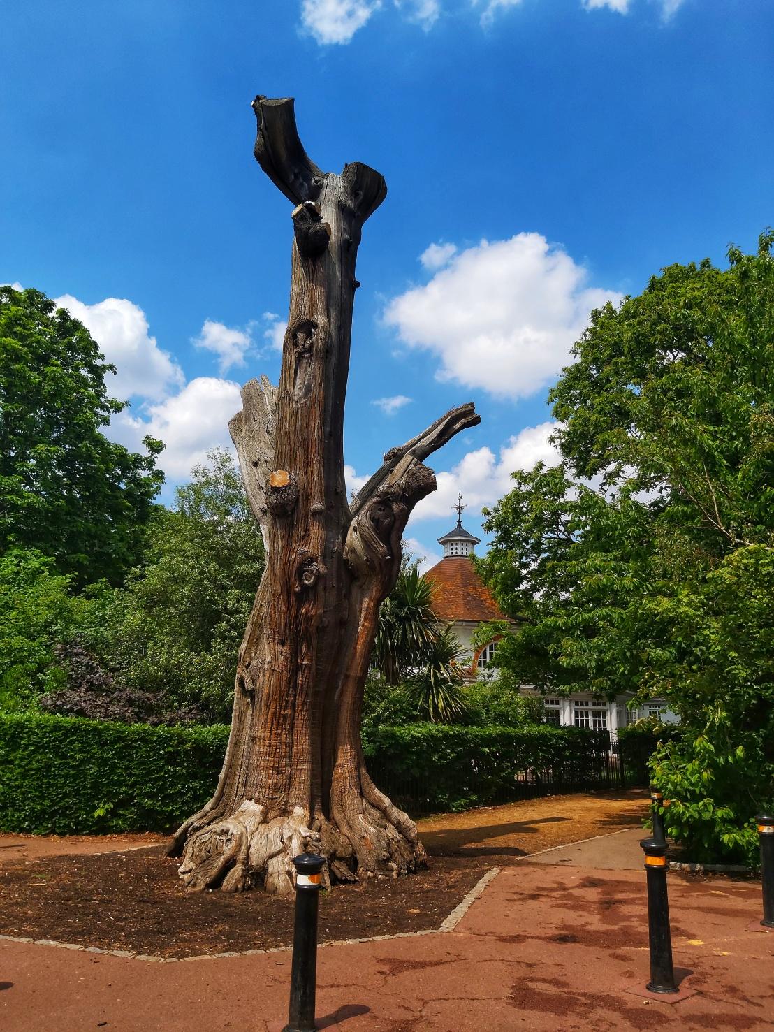 Old Oak in Greenwich Park